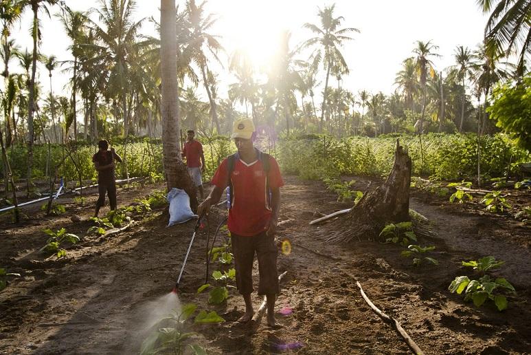 Thoddoo, Alif Alif atol. Farmářská pole